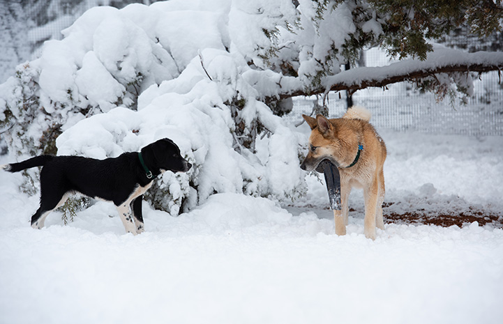 Freya and Pinwheel the dogs looking at each other in the snow