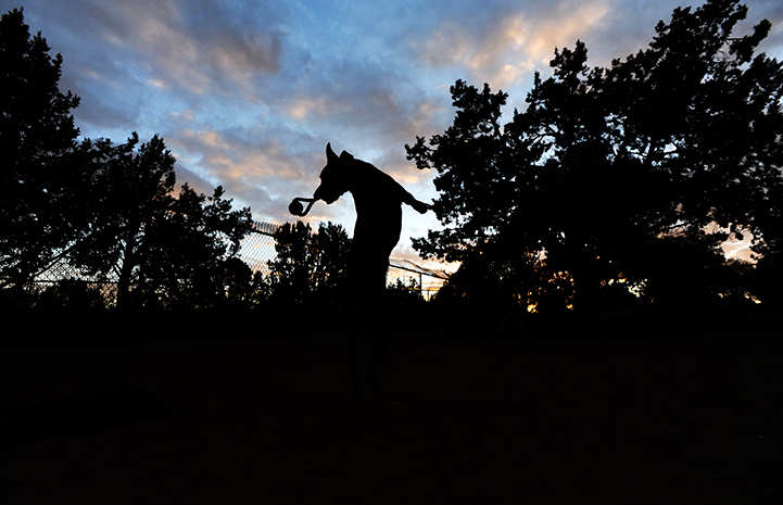 A silhouette of Blair the dog jumping up in the air with a toy in her mouth with a sunset behind her