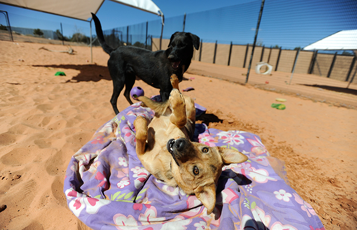 Brown dog on her back on a blanket on the sand with a black dog behind her