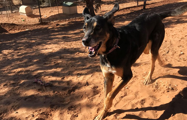 Corban the dog running on red sand