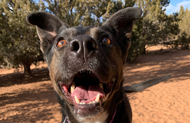 Feebee the black dog with mouth open in a smile with sand and trees behind her