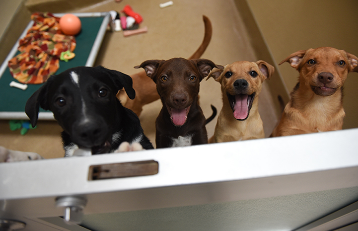 Line of four puppies all peeking over the half-door to their kennel