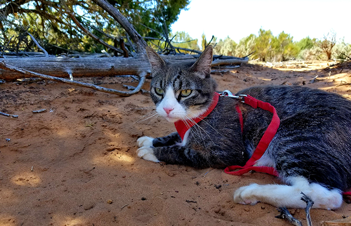 Tigger, the brown tabby with white cat, lying in the sand wearing a read harness and leash