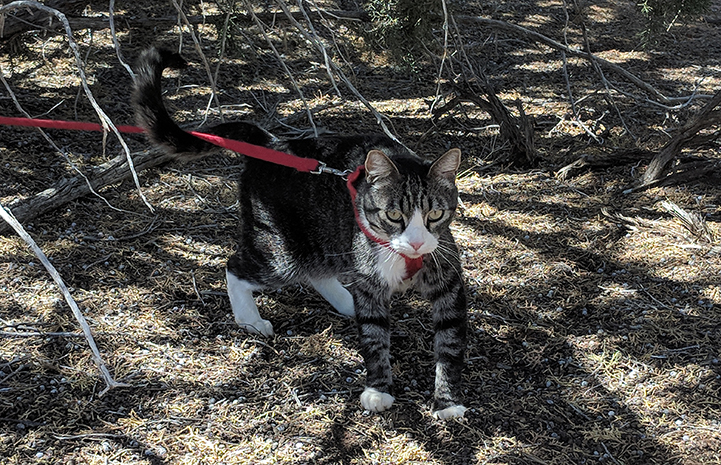 Tigger, the brown tabby with white cat, taking a leashed walk outside under some trees