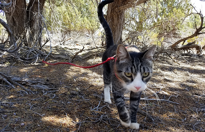 Tigger, the brown tabby with white cat, walking outside on a red leash