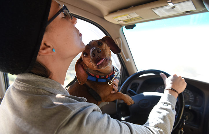 Brown dachshund sticking her tongue out and sitting on the lap of someone driving
