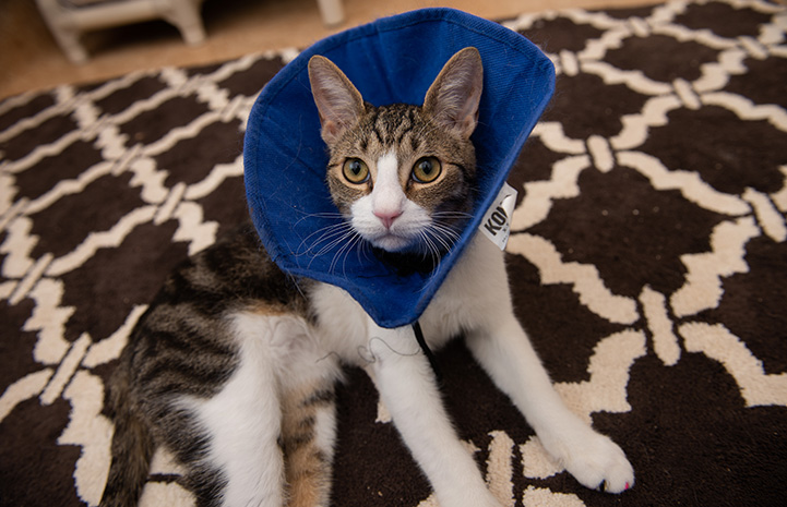 Bubbles the cat in a blue protective cone lying on a brown and white carpet