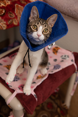 Brown tabby and white cat, Bubbles, wearing a blue protective cone and jumping up on a cat bed