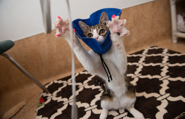 Bubbles the cat wearing a protective cloth cone while jumping up to play, paws open and wearing pink nail caps