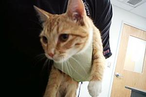 Milo the orange and white tabby cat