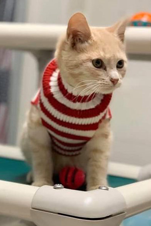 Cream colored kitten wearing a red and white striped sweater