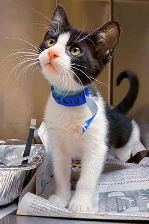 Black and white kitten wearing a paper collar standing in a kennel