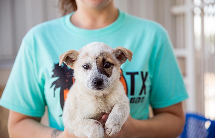 Person holding an Australian heeler-type puppy