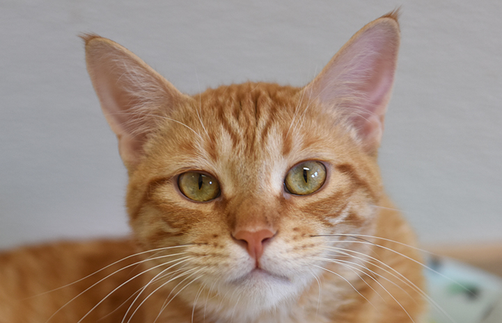 Boris the orange tabby cat's face with amber eyes and little ear tufts