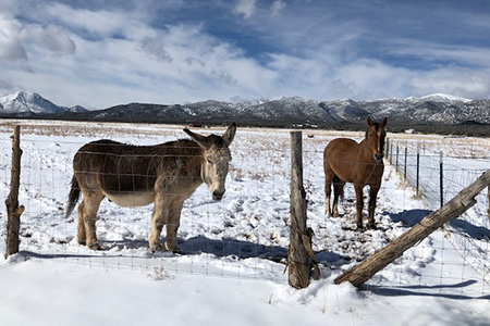 Chuck the horse and Speedy the donkey in a pasture at their new home in the snow