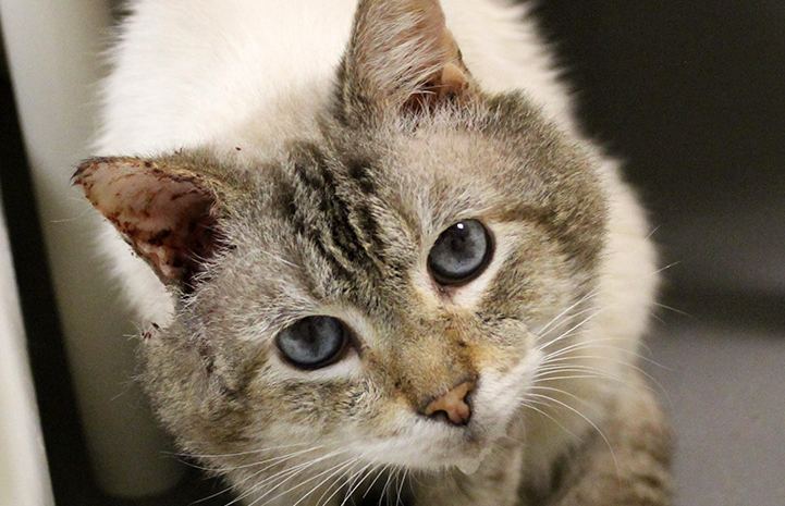 Hubba Bubba the Siamese mix cat had a large tumor on his ear in addition to a FIV diagnosis