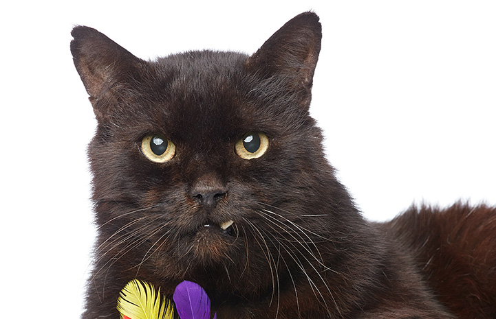 Marshmallow, a black cat with snaggletooth with two feathers in front of him