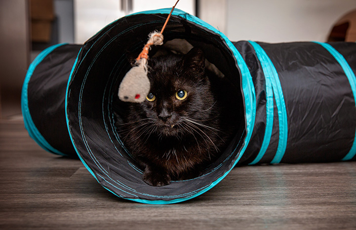 Marshmallow the cat in a play tunnel looking at a hanging toy