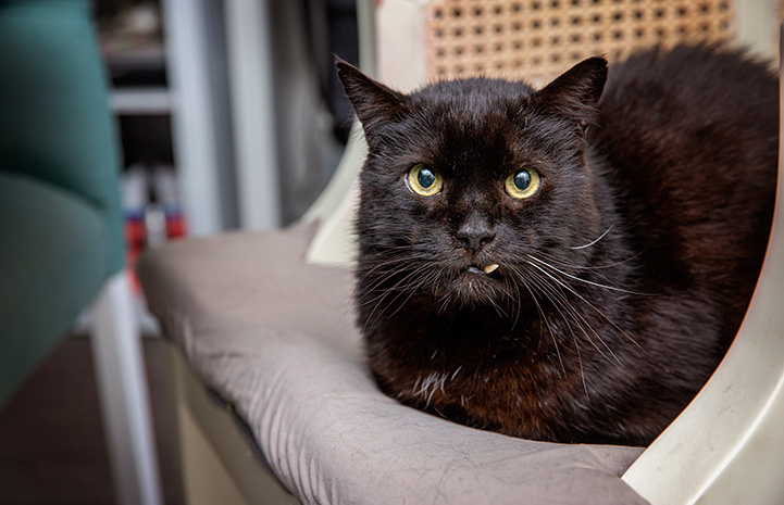 Marshmallow the black cat with a snaggletooth, lying on a chair