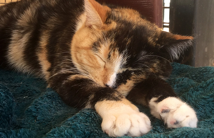 Emma the calico cat lying down and sleeping