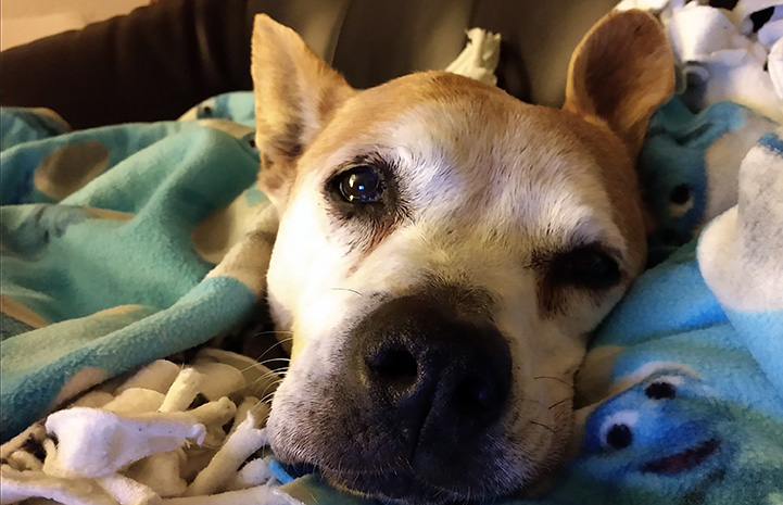 Older brown dog lying down on a blanket