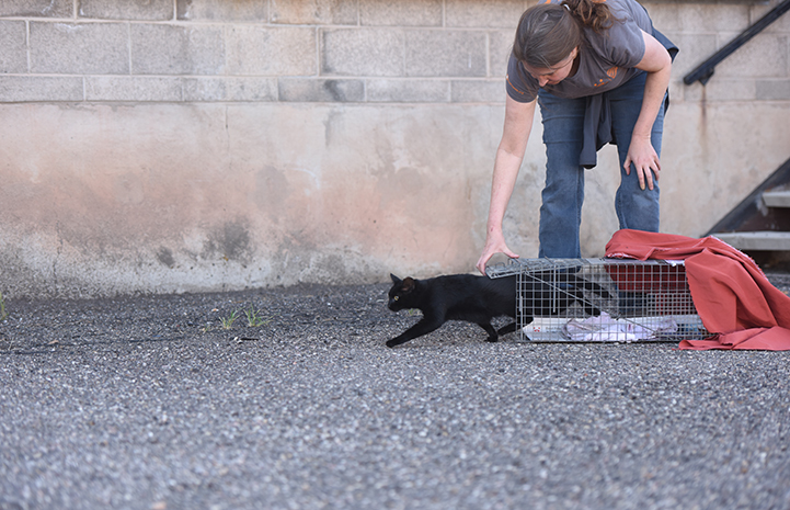 Woman bending down to release a black cat from a humane trap