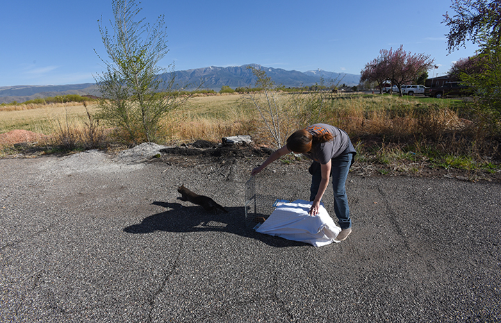 A woman bending down to release a community cat from a sheet covered humane trap, as the cat bolts out