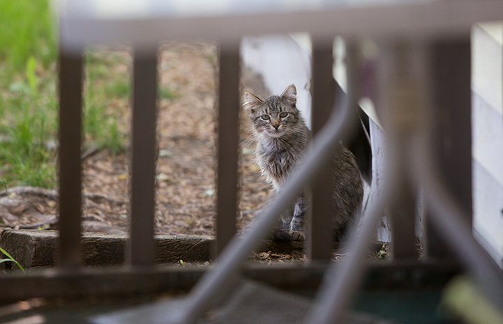 Gray tabby community cat behind some fencing