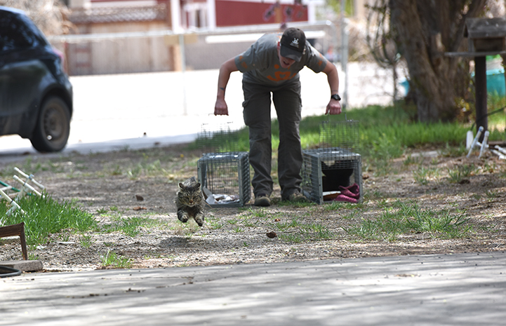Person releasing two humane traps at the same time with one brown tabby running out