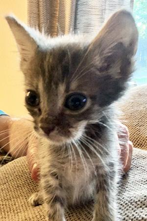 Gray tabby foster kitten