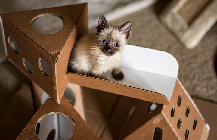 Siamese mix kitten on a cardboard playscape
