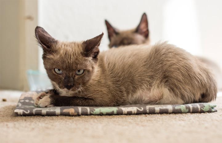 Grumpy-looking, but happy Siamese mix kitten