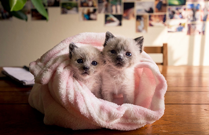 Two Siamese mix kittens wrapped together in a pink fluffy blanket