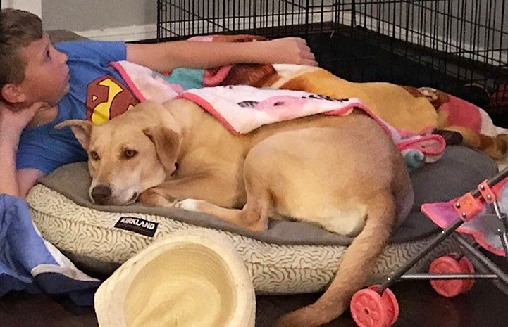Harley the Lab lying on a dog bed next to a young boy