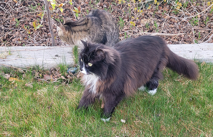 Rico and Kelly the cats standing outside on some green grass