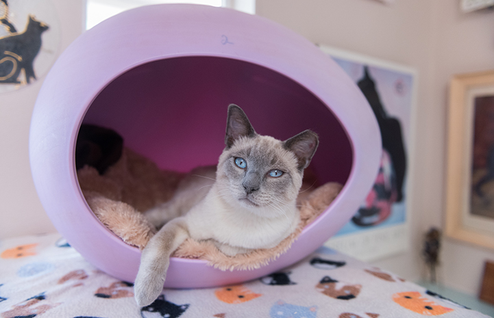 Abraham the Siamese mix kitten lying in a lilac-colored, egg-shaped cat bed