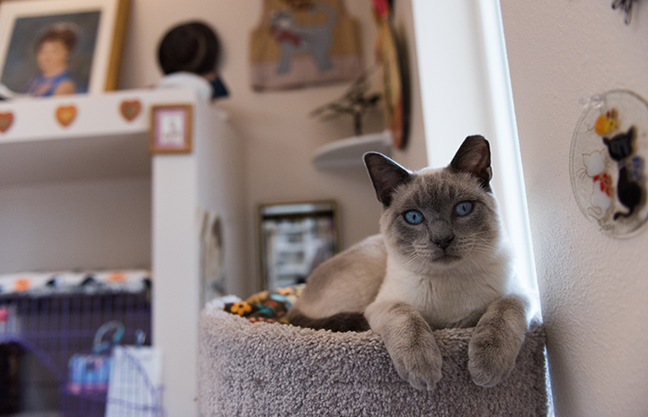 Abraham the Siamese kitten lying on the top of a cat tree