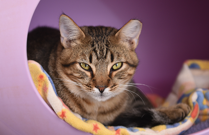 Alfonso the brown tabby kitten in a lilac cat bed