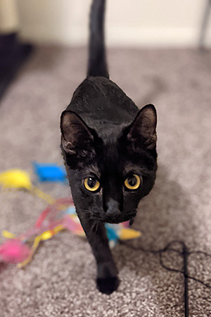 Kai the black kitten, walking toward the camera with a wand toy under him