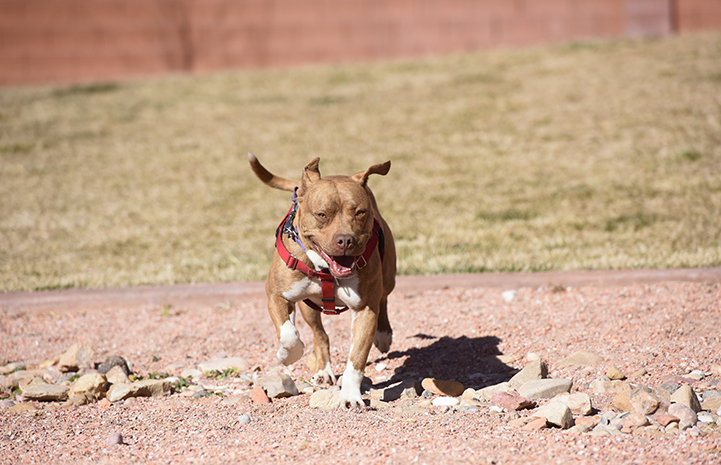 Ledger, a brown pit-bull-terrier-type dog wearing a red harness, running