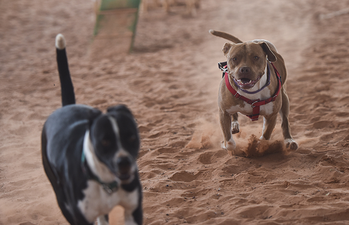 Ledger, a brown pit-bull-terrier-type dog, running with Danica, a black and white pit-bull-terrier-type dog