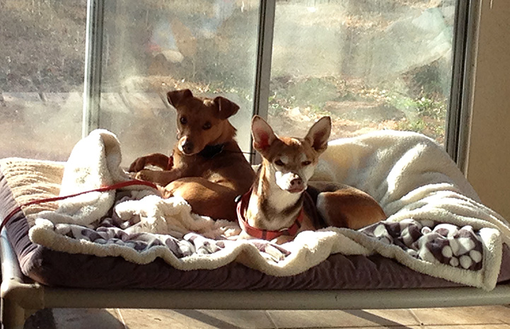 Bean the dog lying with Buddy the Chihuahua mix on a bed next to a window