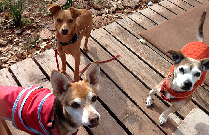 Bean the dog on a deck with two other dogs