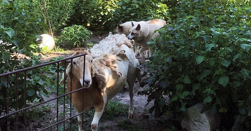 Two shepherd dogs walking behind a sheep in a garden