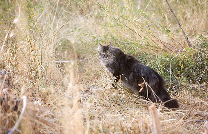Medium hair gray cat in some long grass