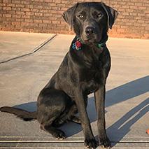 Finn Bowman the charcoal Labrador retriever