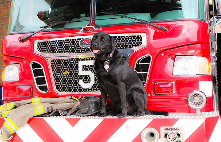 Smokey the firehouse dog with his tongue out on a fire truck next to a fireman's helmet and coat