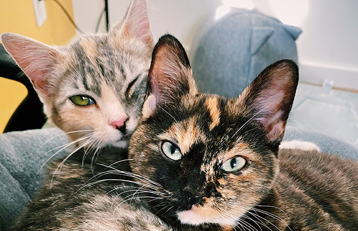 Fate and Cypress, calico and dilute calico kittens, lying snuggled up next to each other