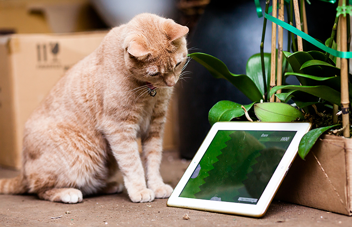 Tom the flower shop cat checks out one of the store's tablets