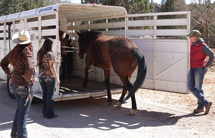 Scarlett and Wire the horses being put into a trailer